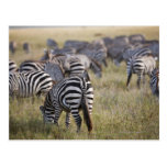 Plains Zebras on migration, Equus quagga, Postcard