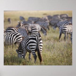 Plains Zebras on migration, Equus quagga, Poster