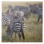 Plains Zebras on migration, Equus quagga, Large Square Tile