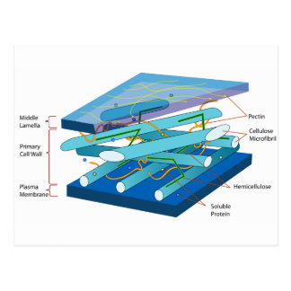 Plant cell wall diagram postcard