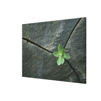 Plant Growing in Cracked Boulder Canvas Print