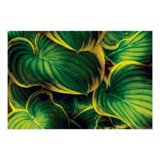 Plant - Hosta Leaves Poster