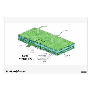 Plant Leaf Tissue Structure Diagram Wall Decal