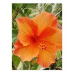 planta anaranjada del hibisco de Hawaii Postales