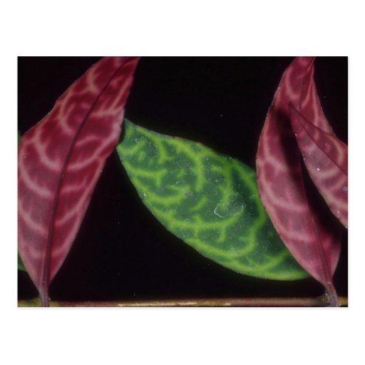 Planta camuflaje rojo/del verde tarjeta postal