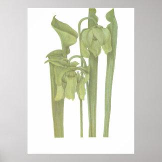 Planta carnívora - flava del Sarracenia Poster