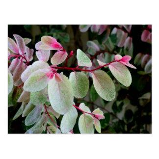 planta colorida del snowbush postal