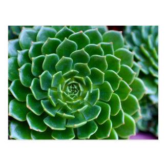 Planta de Echeveria de los Succulents Tarjeta Postal