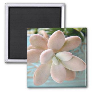 Planta de haba rosada suculenta de jalea de Sedum Imanes