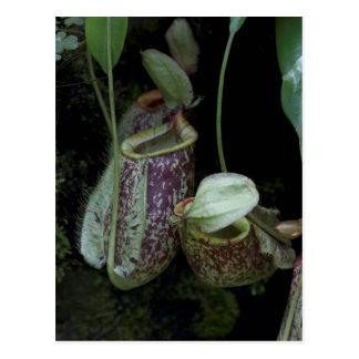 Planta de jarra en jardín nacional de la orquídea postales
