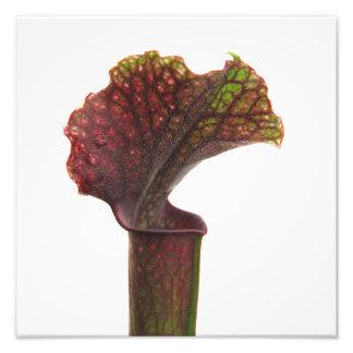 Planta de jarra rojo oscuro impresión fotográfica
