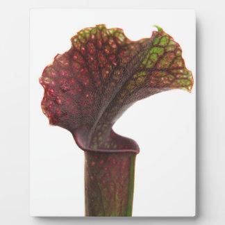 Planta de jarra rojo oscuro placas con fotos