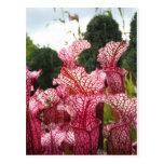 Planta de jarra rosada postales