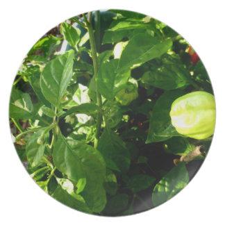 planta de la pimienta con una pimienta verde plato