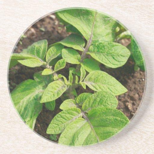Planta de patata posavasos de arenisca