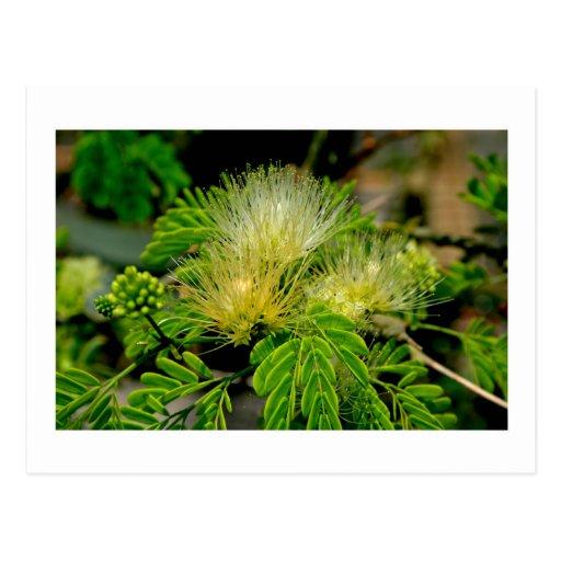 Planta de Raintree en hojas del verde de la florac Tarjetas Postales