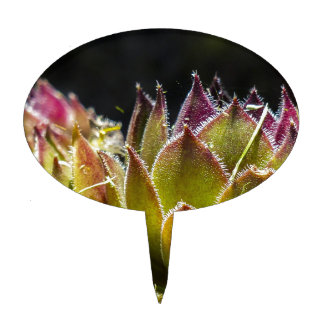 Planta de Sempervivum