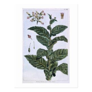 Planta de tabaco, placa 7, de la 'colección postales