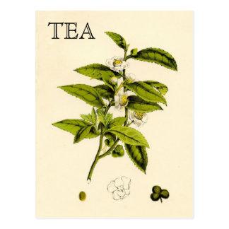 Planta de té del vintage tarjetas postales