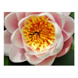 Planta/flor nenufar hermosas tarjetas postales