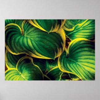 Planta - hojas del Hosta Póster