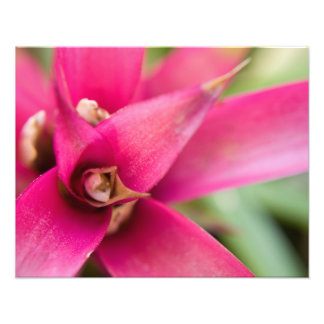 Planta llameante magenta de Bromeliad de la espada Arte Con Fotos