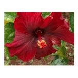 planta roja del hibisco de Hawaii Postales