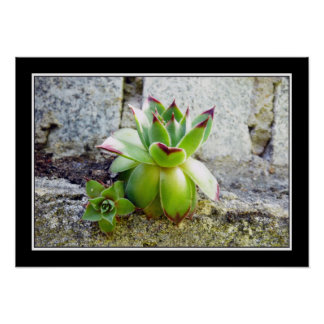 planta suculenta verde póster