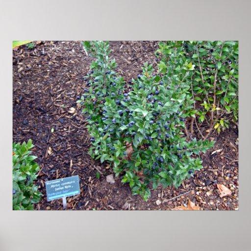 Planta verde por completo de pequeñas frutas azule impresiones