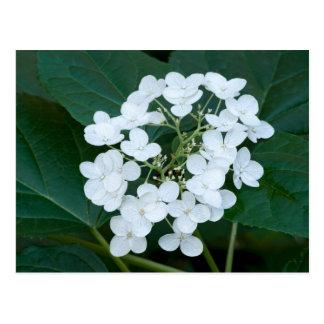 Planta y flores del Hydrangea Tarjetas Postales