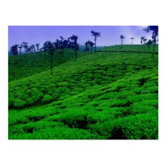 Plantación de té tarjetas postales