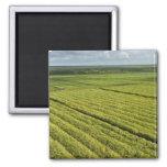 Plantaciones de la caña de azúcar, Guyana Imanes Para Frigoríficos