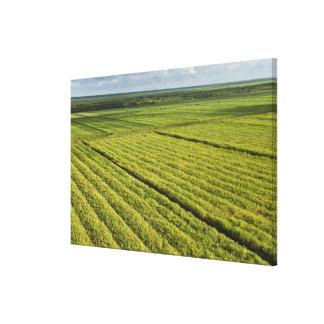 Plantaciones de la caña de azúcar, Guyana Impresión En Tela