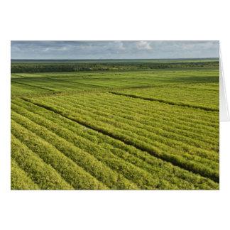 Plantaciones de la caña de azúcar Guyana Tarjetas