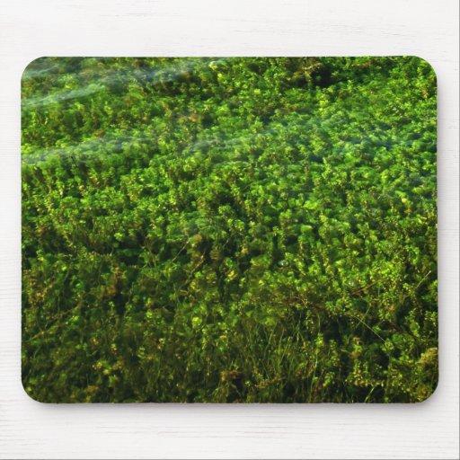 Plantas de agua subacuáticas en la charca tapete de raton