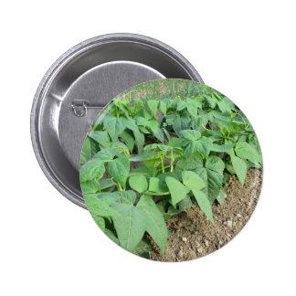 Plantas de habas verdes jovenes en filas pin redondo 5 cm