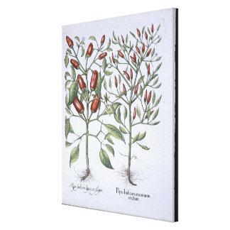 Plantas de la pimienta de chiles, del 'Hortus Eyst Impresión De Lienzo