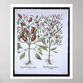 Plantas de la pimienta de chiles, del 'Hortus Eyst Póster
