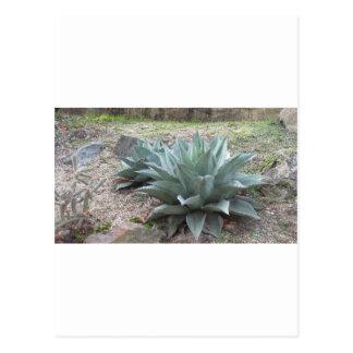 Plantas del agavo del desierto tarjeta postal