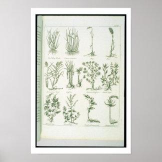 Plantas del médico inglés y de los comp de Culpepe Póster
