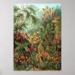 Plantas del musgo del vintage de Ernst Haeckel, Póster