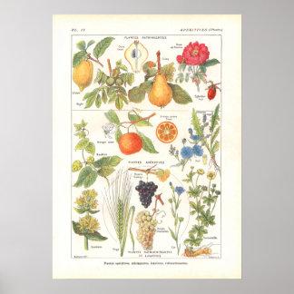 Plantas medicinales que restauran la impresión en  póster