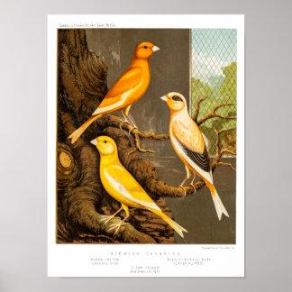 Plantilla amarilla las Canarias del pájaro de la c Póster