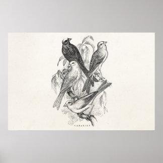 Plantilla de los pájaros de las Canarias del pájar Póster