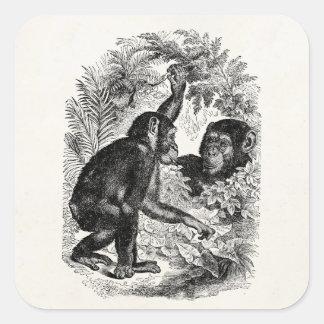 Plantilla del chimpancé del mono de los 1800s de pegatina cuadrada
