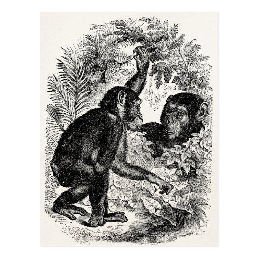 Plantilla del chimpancé del mono de los 1800s de postales