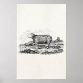 Plantilla del cordero de la oveja de las ovejas póster