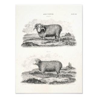 Plantilla del cordero del espolón de la oveja de l cojinete