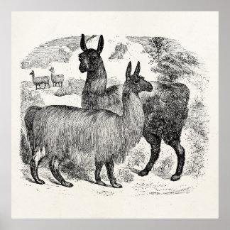 Plantilla retra de la alpaca de las llamas de la l póster