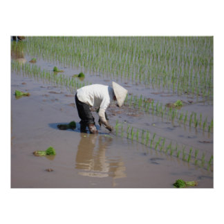 Planting Rice in the fields of Vietnam Poster